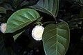 Nauclea latifolia .jpg