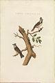 Nederlandsche vogelen (KB) - Lophophanes cristatus (444b).jpg