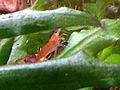 Neocaridina denticulata sinensis IMG 0166 Red Cherry.jpg