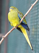 A yellow parrot with blue wingtips and marks between the eyes and the beak