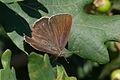 Neozephyrus quercus-02 (xndr).jpg