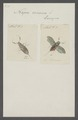 Nepa - Print - Iconographia Zoologica - Special Collections University of Amsterdam - UBAINV0274 041 11 0011.tif
