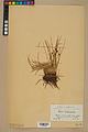 Neuchâtel Herbarium - Juncus jacquinii - NEU000044959.jpg