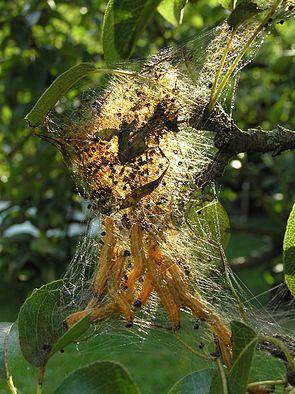 Larven der Birnengespinstblattwespe (Neurotoma flaviventris)