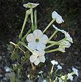Nicotianaacuminata.jpg