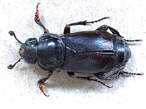 Burying beetle - Nicrophorus germanicus