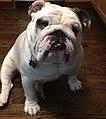 Nikko the English Bulldog.jpg