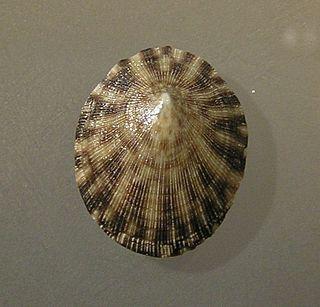 <i>Nipponacmea</i> Genus of gastropods