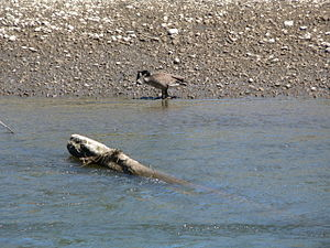 Snag (ecology) - A Canada goose feeds near a snag in the Nisqually River