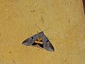 Noctuid Moth (Thyas coronata) (15082633063).jpg