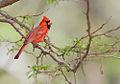 Northern Cardinal 2.jpg