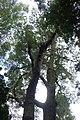 Nothofagus solandri kz02.jpg