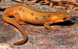Groene watersalamander