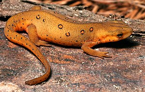 Eastern Newt (Red Eft). Location: Durham Count...