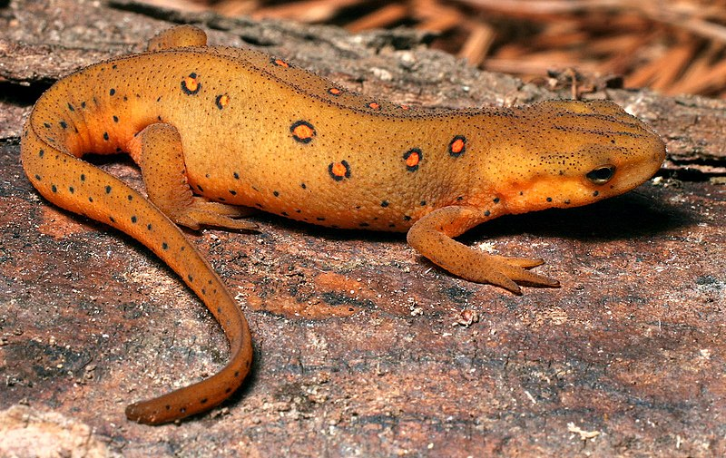 Newts as Pets - an Introduction to their Care and Feeding