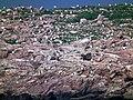 Nurzyki i alki na wyspie Graesholmen - panoramio (1).jpg