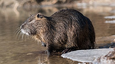 Slika:Nutria (Myocastor coypus) in a partially frozen river Ljubljanica.jpg