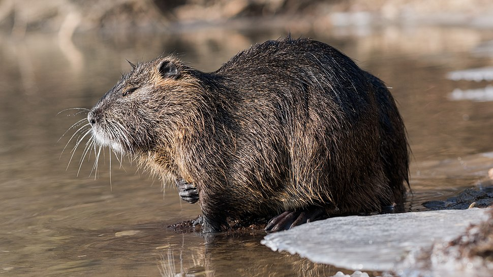 Nutria (Myocastor coypus) in a partially frozen river Ljubljanica