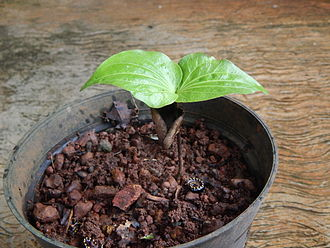 Strychnos nux-vomica - Seedling of nux vomica