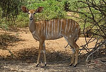 Nyala-Female-Kruger-National-Park.jpg