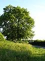 Oak tree on Faversham Road - geograph.org.uk - 188552.jpg