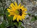 Ochsenauge (Buphthalmum salicifolium) auf der Rax III.jpg