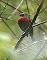 Ochthoeca cinnamomeiventris -NW Ecuador-4.jpg