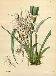 Odontoglossum naevium Paxton 018.jpg