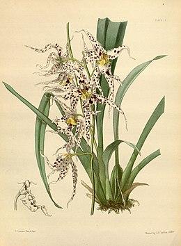 Odontoglossum naevium Paxton 018