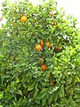 Old Jerusalem Beit El road oranges.jpg
