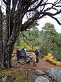 Old Scots Pine and Trees For Life volunteers above Coire Loch - geograph.org.uk - 863716.jpg
