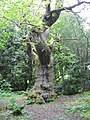 Old beech tree - geograph.org.uk - 1322939.jpg