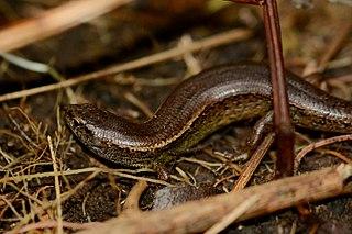 Copper skink Species of lizard