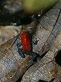 Oophaga pumilio (Costa Rica).jpg