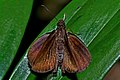 Open wing position of Ancistroides nigrita Latreille, 1824 – Chocolate Demon WLB DSC 4310.jpg