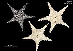 Ophiomisidium crosnieri (MNHN-IE-2013-10302) 02
