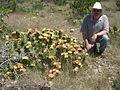 Opuntia-atrispina-del-rio.jpg