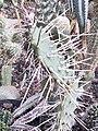 Opuntia cintiensis.jpg