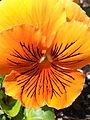 Orange pansy 2013-05-27 21-30.jpg