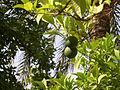 Oranges, unripe, Córdoba (1151801645).jpg