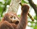 Orangutan (13945319841).jpg