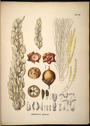 Attalea speciosa - Image: Orbignya phalerata
