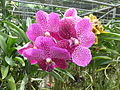 Orchids in Thailand 2013 2758.jpg