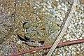 Oriente Stream Frog (Eleutherodactylus cuneatus) (8572427282).jpg