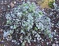 Origanum dictamnus (cropped).JPG