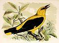 Oriolus oriolus 1873.jpg