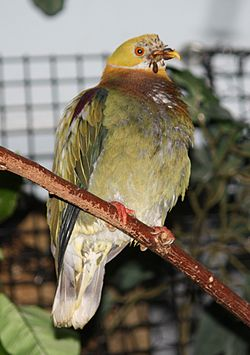 Ornate Fruit Dove 054.jpg
