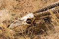 Oryx skull (3690382004).jpg