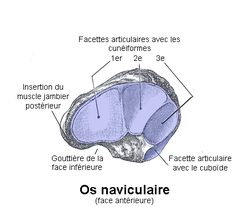 os naviculaire du pied