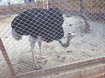 Ostrich In Lucknow Zoo.jpg